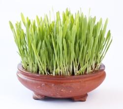 Superfood Gerstengras Informationen und Kalorien / Nährwerte