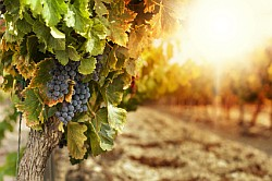 Weintrauben Informationen und Kalorien / Nährwerte